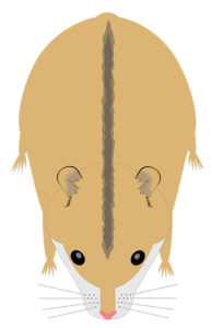 hamster campbells