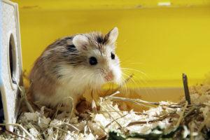 hamster roborovski dans sa cage