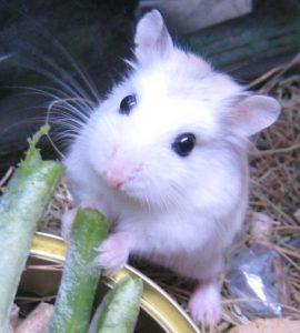 hamster roborovski blanc