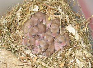 Portée d'hamsters