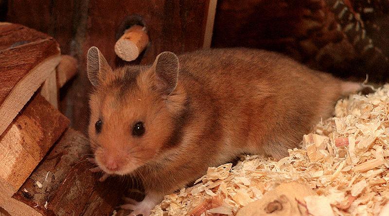 hamster doré habitat