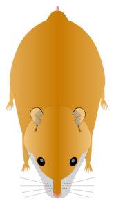 hamster doré ou syrien