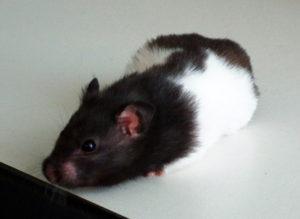 Hamster tacheté