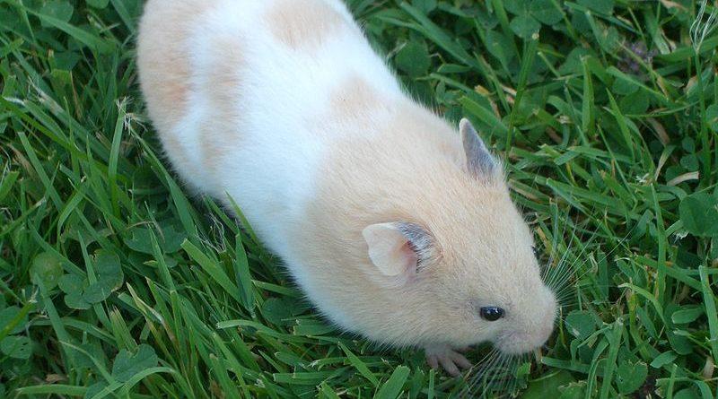 Hamster belge