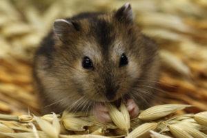 photo d'un hamster entrain de manger