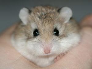 Hamster nain dans une main