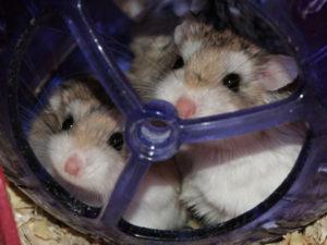Deux hamsters dans leur boule