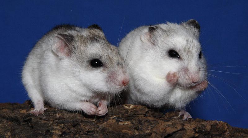 Deux hamster jouant ensemble