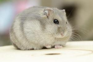 mon hamster se gratte, que faire ?