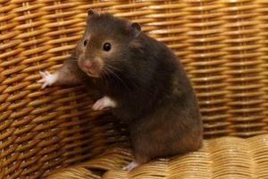 Hamster dans son panier