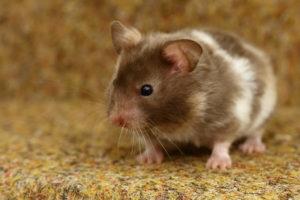 hamster-dore-syrien