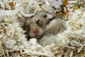 Hamster syrien dans son habitat